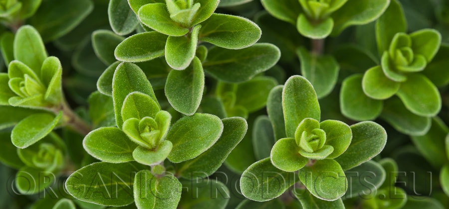 About Oregano